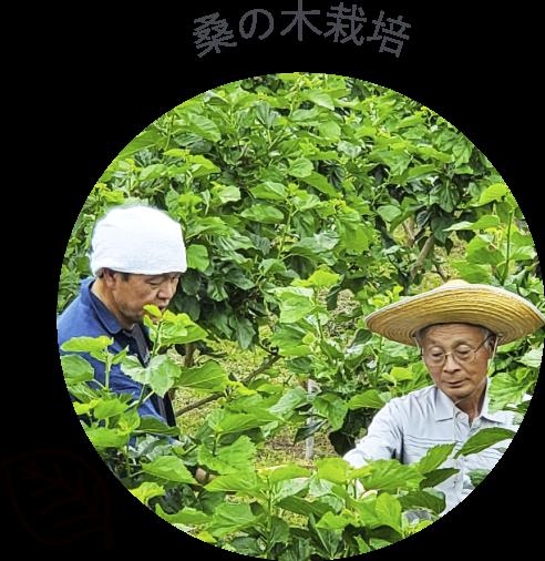 桑の木栽培
